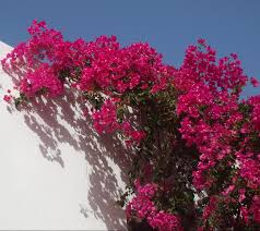 bougainvillea how to grow bougainvillea how to protect bougainvillea from the cold