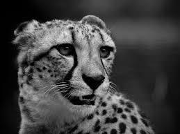wallpaper 1400x1050 cheetah muzzle black white