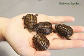 box turtle size how to care for a hatchling eastern box turtle
