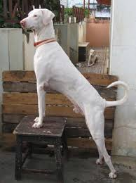 Image result for indian dog breeds