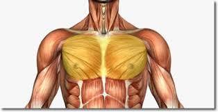 「大胸筋 イラスト」の画像検索結果