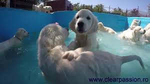 golden retriever puppies swimming. Brilliant Retriever Golden Retriever Pups Swimming In The Pool For First Time With Puppies Swimming YouTube