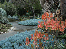 desert gardening. Aloe Saponaria (Zebra Or African Aloe) And Blue Stick Succulents (Senecio Mandraliscae), Showing Pathways Garden Layout Design. Desert Gardening M
