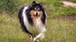 All About Rough Collies Breed Information Traits