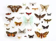 Moth Identification Chart Moth Wikipedia