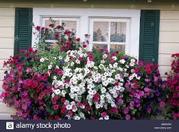 garden shed pink window boxes full of wave and tidal wave petunias with english ivy out