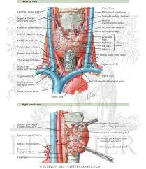 Thyroid Anatomy Anatomy Of The Thyroid And Parathyroid Glands