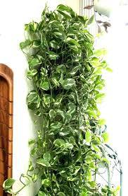 best hanging plant hanging indoor plants indoor hanging plants low light easy indoor plants for beauty