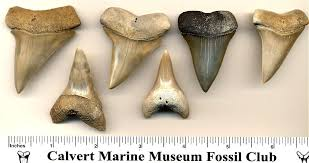 Shark Tooth Size Chart Fossil Shark Tooth Identification For Aurora North Caroina