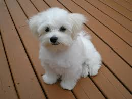 maltese dog. the maltese puppy dog d