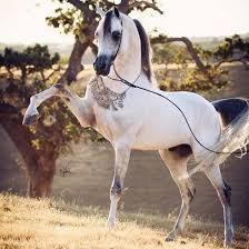 Image result for white arabian stallion tumblr