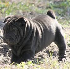 the shar pei is one of the best um sized guard dogs
