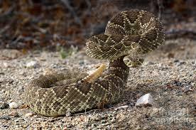 rattlesnake strike pose. Modren Rattlesnake Mojave Photograph  Mohave Green Rattlesnake Striking Position By Bob  Christopher To Strike Pose A