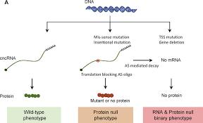 Translation Vs Transcription Venn Diagram Binary Phenotypes Protein Null Versus Rna Null Normal