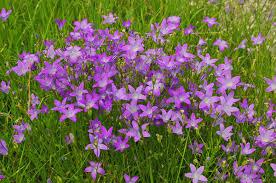 Wiesen-Glockenblume – Wikipedia
