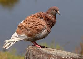 Light Brown And White Pigeon Rock Pigeon Audubon Field Guide