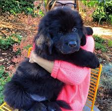Newfoundland dog puppy ...