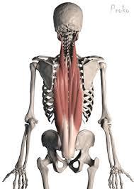 Afbeeldingsresultaat voor erector spinae