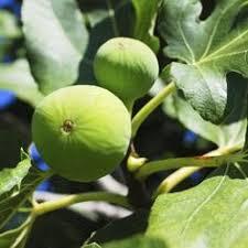 Wonderful Pomegranate Punica Granatum U0027Wonderfulu0027 In Greensboro Fruit Tree Nursery North Carolina