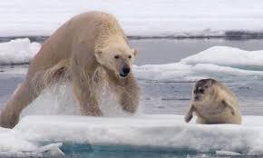grolar bear size the majestic grolar bear