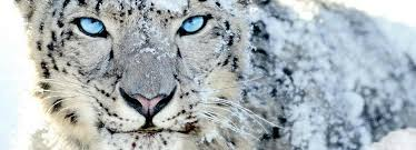 white tiger with blue eyes in snow. Wonderful Snow White Tiger In Snow With Blue Eyes  Photo3 Intended Tiger With Blue Eyes In Snow I