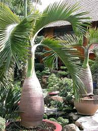 patio plants bottle palm tree pa h potted patio plants for privacy