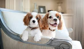 cavaliers dogs. Perfect Cavaliers Cavalier King Charles Spaniel Intended Cavaliers Dogs H