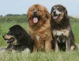 Tibetan Mastiff Health Problems Feeding