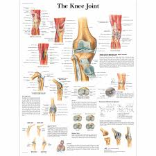 Knee Joint Chart Medical Posters Anatomy Of The Knee