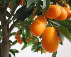 The Citrus Guy One Of My Favorite Citrus TreesKumquat Tree Not Bearing Fruit