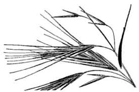Plants Profile for Bromus diandrus rigidus (ripgut brome)