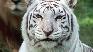 white tiger.  Tiger In White Tiger