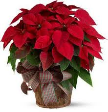 deliver a festive poinsettia the perfect holiday gift