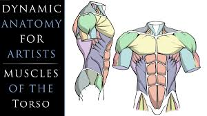 Intrinsic back muscles often occur in exams. Dynamic Anatomy For Artists Muscles Of The Torso Robert Marzullo Skillshare