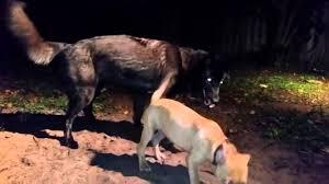 pitbull dog vs wolf. Exellent Pitbull Pitbull Dog Vs Wolf With Dog Vs