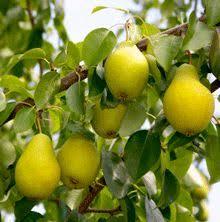 41 Best Fruit TreesGrape Vines Images On Pinterest  Fruit Trees Dwarf Fruit Trees Virginia