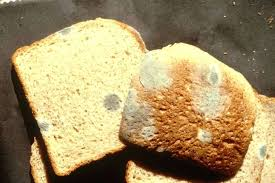 What Causes Bread To Mold White Bread Mold Scientific Name