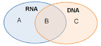 Venn Diagram Comparing Dna And Rna A Venn Diagram Can Be Used To Compare And Contrast Nucleic