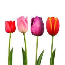 Afbeeldingsresultaat voor tulpenbol