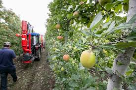 apple growers n away by defoliation