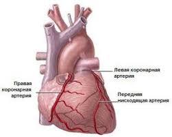 Реферат на тему Реваскуляризация миокарда при ишемической болезни  Правая коронарная артерия снабжает большую часть правого желудочка сердца некоторые отделы перегородки сердца и заднюю стенку левого желудочка сердца