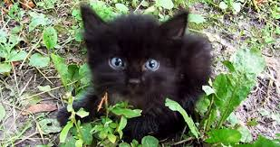 Image result for black kitty