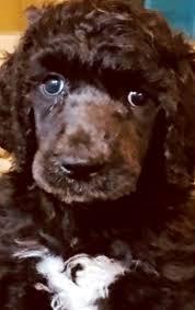Bonnie Poodle Puppy 604011 | PuppySpot