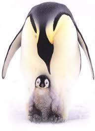 emperor penguin egg. Delighful Penguin Photo Of Emperor Penguin And Her Chick For Emperor Penguin Egg