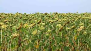 Курсовая работа по растениеводству технология возделывания рб Исходные данные для курсовой работы Технология возделывания озимой ржи В северных районах РФ для посева оставляют