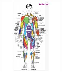 Sample Muscle Chart 7 Free Documents In Pdf