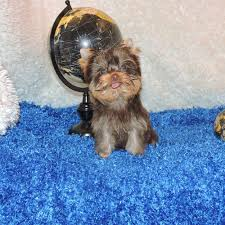 male yorkie puppy chocolate