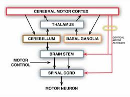 anatomy motor exam upper motor neuron