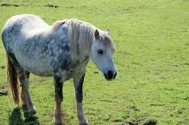 Melanomas In Horses Tauranga Veterinary Services