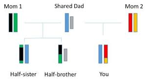 Dna Chart For Half Siblings Understanding Genetics